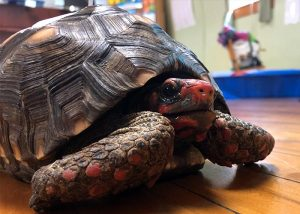 Angel, the South American red-footed tortoise at St. Charles School.